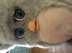 furby plush tiger gray pink tummy